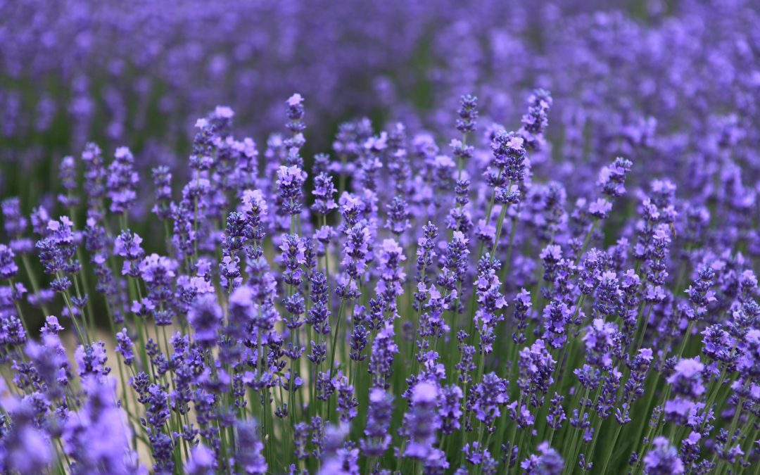 More About Lovely Lavender