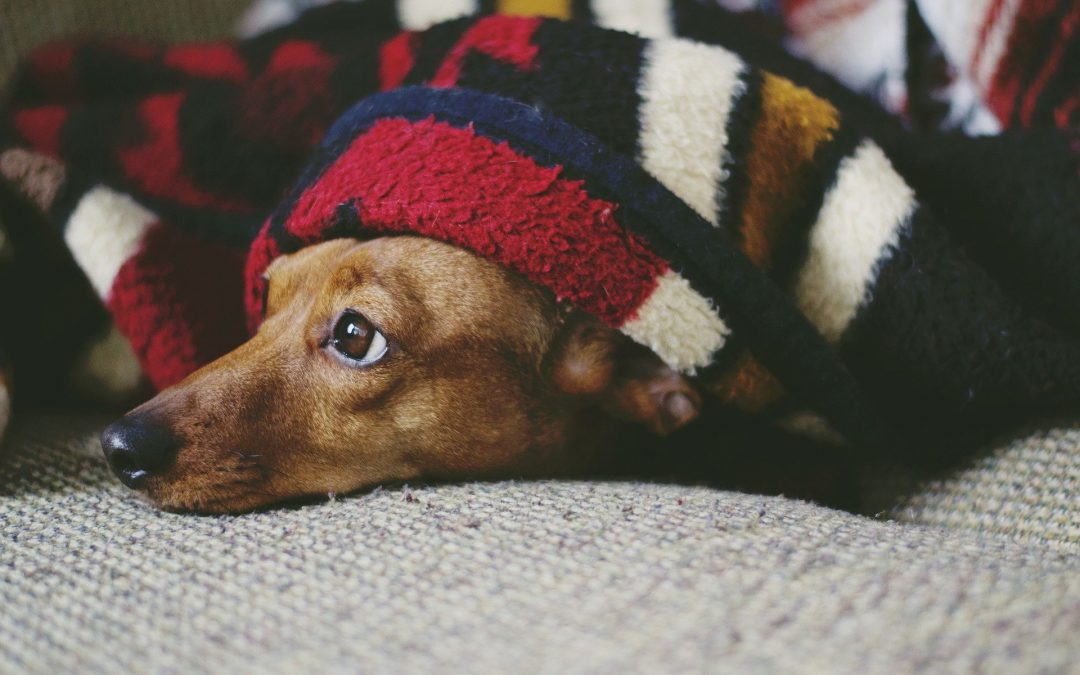 cosy brown dog under a colourful blanket