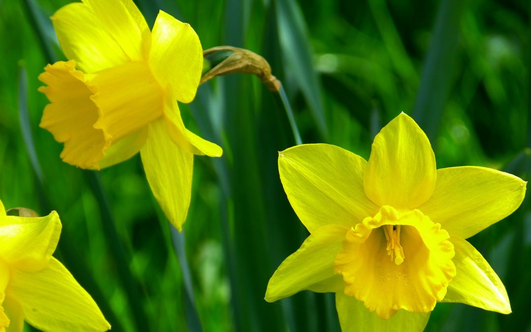 Close-up of yellow daffodils against green foliage